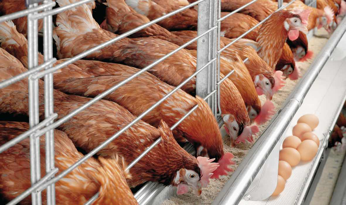 POULTRY FARMING IN NIGERIA